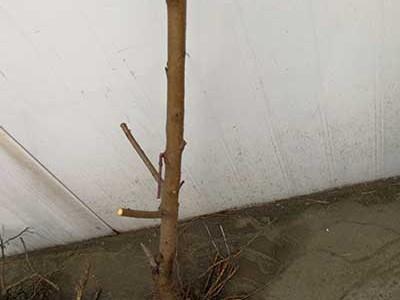 阳山水蜜桃树苗(3年苗)