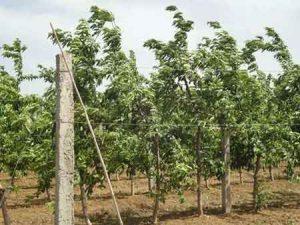 一亩地种多少颗阳山水蜜桃树