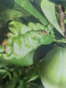 水蜜桃缩叶病的病因与防治