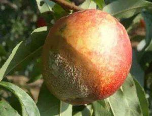 水蜜桃褐腐病的防治