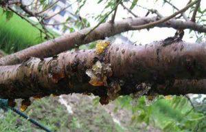 水蜜桃真菌性流胶病的症状与防治