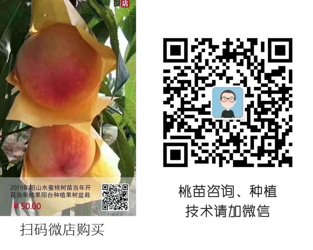 阳山水蜜桃种植要求